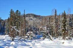 Inverno, foresta del Altai montagnoso Immagini Stock