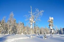 Inverno, foresta del Altai montagnoso Immagine Stock Libera da Diritti