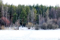 Inverno, foresta, neve, pini, orme nella neve, fotografia stock libera da diritti