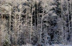 Inverno Forrest Immagine Stock