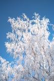 inverno Frost na árvore de vidoeiro branco imagens de stock