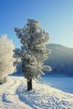 Inverno. Hoarfrost. Um cedro. Imagem de Stock