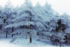 Inverno Huangshan - alberi della neve Fotografie Stock Libere da Diritti