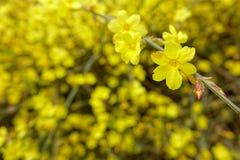 Inverno Jasmine6 Imagens de Stock Royalty Free