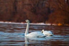 Inverno LIFE-Nature selvaggio del lago di due cigni immagini stock