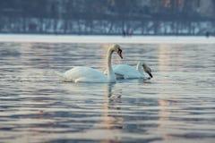 Inverno LIFE-Nature selvaggio del lago di due cigni immagini stock libere da diritti