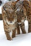 Inverno Lynx Immagine Stock