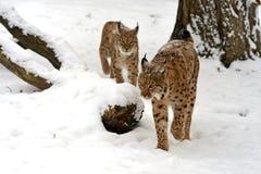 Inverno Lynx Immagini Stock Libere da Diritti