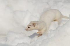 inverno menos doninhas que corre no monte de neve Fotografia de Stock Royalty Free