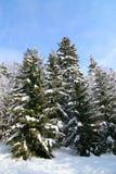 Inverno nel più forrest Immagine Stock