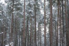 Inverno nell'abetaia Fotografia Stock Libera da Diritti