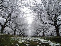 Inverno no pomar Foto de Stock Royalty Free