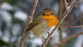 Inverno Robin Immagine Stock