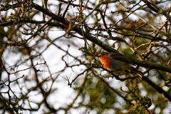 Inverno Robin nel fogliame del ramoscello Fotografia Stock Libera da Diritti