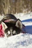 inverno ronco do cachorrinho Fotografia de Stock Royalty Free