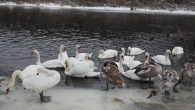 Inverno selvaggio dei cigni in natura stock footage