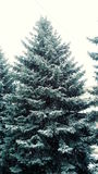 inverno Spruce fotos de stock