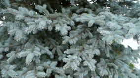 inverno spruce azul video estoque