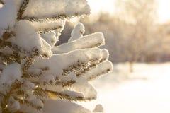 Inverno Tempo nevado Ramos cobertos de neve da árvore de abeto Foto de Stock Royalty Free