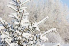 Inverno Tempo nevado Ramos cobertos de neve da árvore de abeto Imagem de Stock Royalty Free