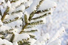 Inverno Tempo nevado Ramos cobertos de neve da árvore de abeto Foto de Stock