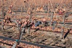 Inverno in vigne californiane fotografie stock