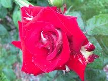 Inverse blanc de rose de rouge Photo libre de droits