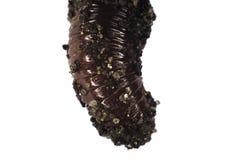 Invertebrado de la lombriz de tierra de Lumbricidae Imagen de archivo libre de regalías