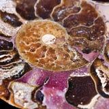 Invertebrado marino extinto, amonita Imagenes de archivo