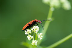 Free Invertebrate Portrait Cardinal Beetle Royalty Free Stock Photos - 49940678