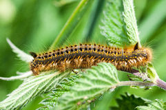 Invertebrate portrait drinker moth caterpillar Stock Photo