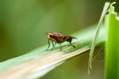 Invertebrate portrait fly on reed stem Stock Photography