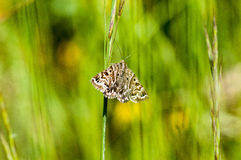 Invertebrate portrait mother shipton moth Stock Photo