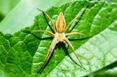 Invertebrate portrait nursary web spider. (Pisaura mirabilis) basking on a nettle leaf royalty free stock photography