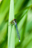 Invertebrate portrait red-eyed damselfy. (Erythromma najas) eating a small fly on a reed stem royalty free stock images