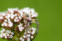 Invertebrate portrait spider camouflaged Royalty Free Stock Image