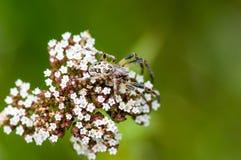 Invertebrate portrait spider camouflaged. Invertebrate portrait camouflaged spider on flower head stock photos