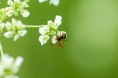 Invertebrate portrait spider on cow parsley Stock Image