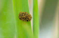 Invertebrate portrait spiderlings Stock Images