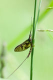 Invertebrte portrait of mayfly Stock Photos