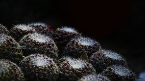 Inverted Hemispheres of Cactus balls. Nature photography with plants. Cactus plants with sharp nails in dark background Stock Image
