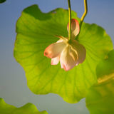 Inverted image of lotus flower and leave Royalty Free Stock Image