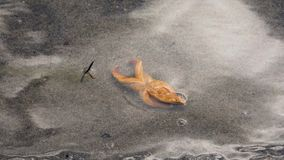 Inverted Starfish In The Sea, Moving Legs And Gracefully Flipped Back Timelapse. Inverted starfish in the sea on the sandy bottom, moving legs and gracefully stock video