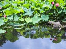 Inverterad bild av lotusblomma Arkivbild