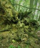 Inverterade gamla stubben för jord högen av en bisarr form är mycket liknande till en spöke, monstret, elaka trollet, ensemble, o Arkivbild