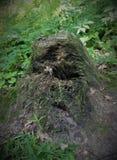 Inverterade gamla stubben för jord högen av en bisarr form är mycket liknande till en spöke, monstret, elaka trollet, ensemble, o Royaltyfria Bilder
