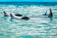 Invertido dois golfinhos na água Fotografia de Stock