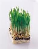 Investigação agrícola/manipulação genética Foto de Stock Royalty Free