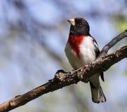 Investigación del pájaro de Rose-Breasted Foto de archivo