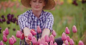 Investigador tulipanes blancos y púrpuras de Examining Stamen Of almacen de video